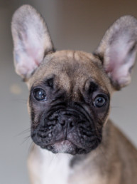 Frenchie | Pet Photographer Isle of Man