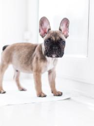 French Bulldog Puppy Portrait | Isle of Man