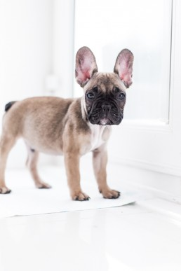 French Bulldog Puppy Portrait | Isle of Man